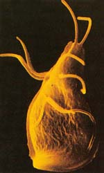 жгутиконосцы паразиты человека