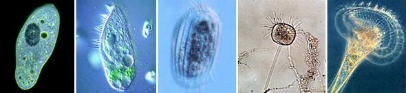 Инфузории. Слева направо: парамеция (инфузория-туфелька), блефаризма, эвплотес, подофрия, инфузория-трубач