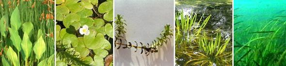 Алисматиды. Слева направо: частуховые (частуха подорожниковая), водокрасовые (водокрас обыкновенный, элодея канадская, телорез алоевидный), взморниковые порядка наядовые (взморник морской)