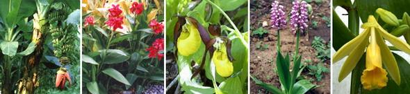 Лилииды. Слева направо: банановые порядка имбирные (банан южнокитайский), канновые (канна садовая), орхидные (венерин башмачок настоящий, ятрышник шлемоносный, ваниль плосколистная)