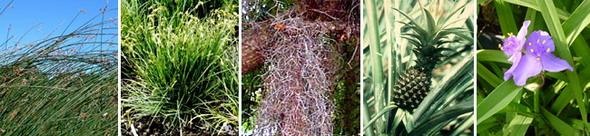 Коммелинииды. Слева направо: осоковые (камыш озёрный, осока острая), бромеливые (испанский мох обыкновенный (свисает с дерева), ананас обыкновенный), коммелиновые (традесканция вирджинская)