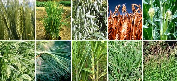 Злаки. Верхний ряд, слева направо: пшеница твёрдая, рис посевной, овёс посевной, рожь культурная, кукуруза (маис). Нижний ряд, слева направо: просо обыкновенное, ячмень культурный, сахарный тростник благородный, свинодон пальчатый, пырей ползучий