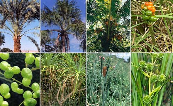 Арециды. Верхний ряд, слева направо: пальмы (финиковая пальма, маврикиева пальма извилистая, кокосовая пальма), аронниковые (аронник пятнистый). Нижний ряд, слева направо: рясковые порядка аронниковые (ряска горбатая), пандановые (панданус кровельный), рогозовые (рогоз широколистный), ежеголовниковые порядка рогозовые (ежеголовник прямой)