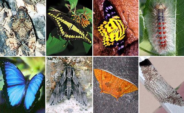 Чешуекрылые насекомые верхний ряд