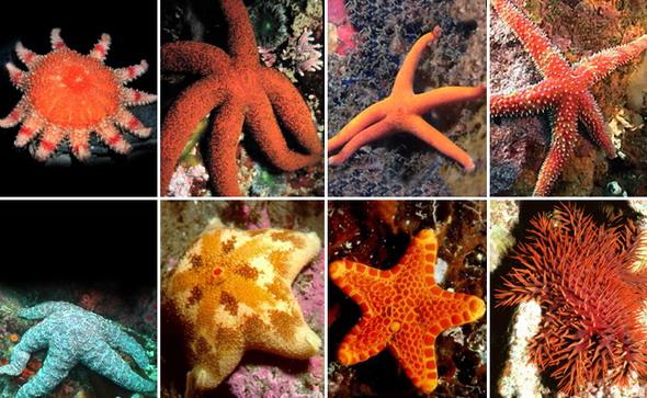 За исключением морского яблока и некоторых морских звезд, описанных выше, другие виды довольно...