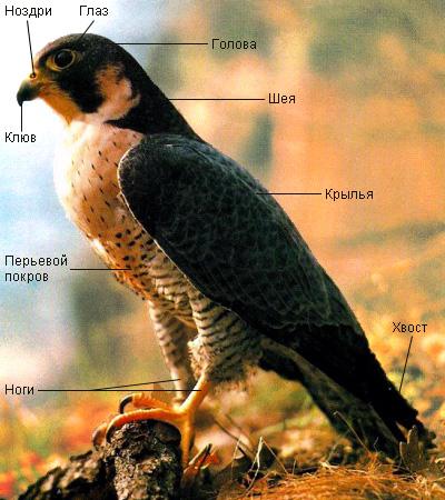 Доклад на тему внешнее строение птиц 3860