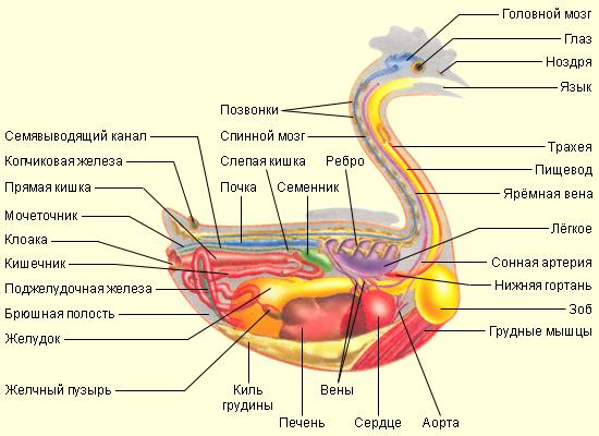 Внутренние органы птиц.
