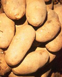 Особенно много крахмала в клубнях картофеля, а также в семенах бобовых и злаков