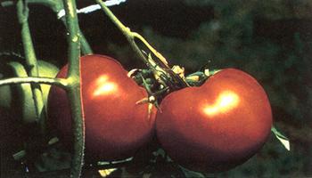 Эти помидоры, выращенные при помощи генной инженерии, устойчивы к гниению