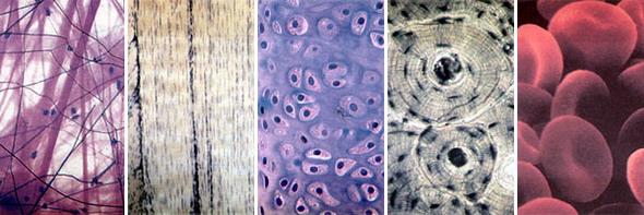 4 Эпителиальные ткани расположение в организме функции