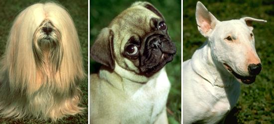 Человек путём искусственного отбора создал огромное количество сортов культурных растений и пород домашних животных. Различные породы собак